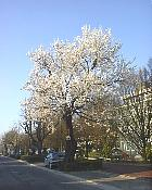 Almond tree, photos